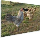 Haan tussen de kippen in het gras Plexiglas 120x80 cm - Foto print op Glas (Plexiglas wanddecoratie)
