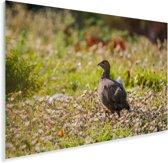 Een patrijs loopt door een bloemgebied Plexiglas 120x80 cm - Foto print op Glas (Plexiglas wanddecoratie)