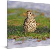 Grote lijster met haar prachtig gestipte huid Aluminium 20x20 cm - klein - Foto print op Aluminium (metaal wanddecoratie)