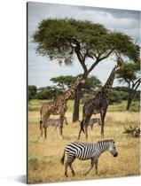 Giraffen en Zebras samen op de savanne van het Nationaal park Serengeti Aluminium 20x30 cm - klein - Foto print op Aluminium (metaal wanddecoratie)