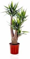 Yucca Elephantipes op stam vertakt XL