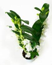 Friswitte orchidee 2-tak 60cm Dendrobium Nobile Apollon