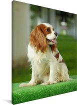 Een zittende Cavalier King Charles-spaniël Canvas 30x40 cm - klein - Foto print op Canvas schilderij (Wanddecoratie woonkamer / slaapkamer) / Huisdieren Canvas Schilderijen