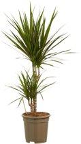 Kamerboom van Botanicly   Drakenboom   Hoogte: 80 cm    Dracaena Marginata