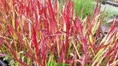 Imperata cylindrica 'Red Baron' - Japans bloedgras - 6 stuks