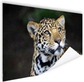 Nieuwsgierige luipaard foto Poster 90x60 cm - Foto print op Poster (wanddecoratie woonkamer / slaapkamer) / Dieren Poster