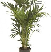 Howea Forsteriana Kentia kamer palm - ca 90cm