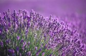 Etherische Lavendel geur Olië