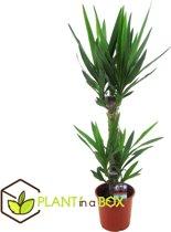 PLANT IN A BOX Yucca 'Elephantipes' - kamerplant - Hoogte ↕ 80 - 90 cm