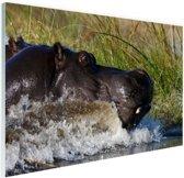 Nijlpaard richting het droge Glas 90x60 cm - Foto print op Glas (Plexiglas wanddecoratie)