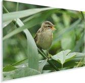 Een kleine karekiet is aan het zingen tussen de planten Plexiglas 180x120 cm - Foto print op Glas (Plexiglas wanddecoratie) XXL / Groot formaat!