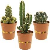 Desertworld Mini Cactussen in terracotta potjes - 3 stuks - Ø 6 cm ↕️ 8-15 cm
