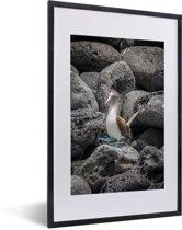 Foto in lijst - Een Blauw voet booby tussen de stenen fotolijst zwart met witte passe-partout 40x60 cm - Poster in lijst (Wanddecoratie woonkamer / slaapkamer)