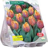Tulipa (Tulpen) bloembollen - Prinses Irene - Triumph - 2x20 stuks