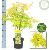 Acer palmatum 'Orange Dream'; Totale hoogte 60+cm incl. Ø 19cm pot - Japanse esdoorn