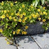 12 Stuks Waldsteinia ternata - Goudaardbei - p9