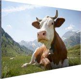 Liggende koe met bel Aluminium 120x80 cm - Foto print op Aluminium (metaal wanddecoratie)