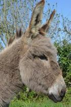 Captivating Gray Donkey in Profile Portrait Journal