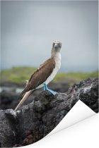 Zijaanzicht van en Blauw voet booby op de Galapagos eilanden Poster 60x90 cm - Foto print op Poster (wanddecoratie woonkamer / slaapkamer)