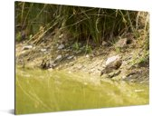 Porseleinhoen aan de rand van groen water Aluminium 80x60 cm - Foto print op Aluminium (metaal wanddecoratie)