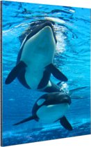 Twee orkas onder water Aluminium 40x60 cm - Foto print op Aluminium (metaal wanddecoratie)