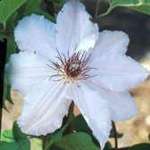 Clematis 'Snow Queen' - Bosrank 50-60 cm pot