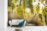 Fotobehang vinyl - Close up van gele acacia bloemen in zonlicht breedte 390 cm x hoogte 260 cm - Foto print op behang (in 7 formaten beschikbaar)