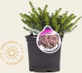 Erica darleyensis 'Ghost Hills'  15cm pot