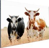 Twee koeien in Zuid-Afrika Aluminium 60x40 cm - Foto print op Aluminium (metaal wanddecoratie)