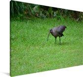 Een donkere hadada-ibis rust in een weide in Afrika Canvas 180x120 cm - Foto print op Canvas schilderij (Wanddecoratie woonkamer / slaapkamer) XXL / Groot formaat!