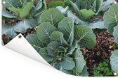 Een groene mergkool in bloei Tuinposter 60x40 cm - klein - Tuindoek / Buitencanvas / Schilderijen voor buiten (tuin decoratie)