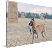 Een Mechelse herder tussen de hooibalen op een weiland Canvas 140x90 cm - Foto print op Canvas schilderij (Wanddecoratie woonkamer / slaapkamer) / Huisdieren Canvas Schilderijen