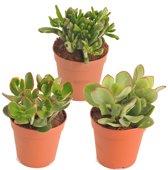 Vetplanten mix (Crassula soorten) - plant + pot is 20 cm hoog - per 3 stuks