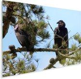 Een Californische condor op een tak Plexiglas 80x60 cm - Foto print op Glas (Plexiglas wanddecoratie)