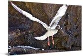 Een Zwaluwstaartmeeuw vliegt tussen de rotsen Aluminium 180x120 cm - Foto print op Aluminium (metaal wanddecoratie) XXL / Groot formaat!