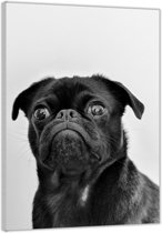 Plexiglas –Pug in het Zwart-wit – 60x90cm  (Wanddecoratie op Plexiglas)