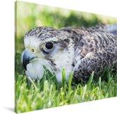 Giervalk ligt op het gras in de zomer Canvas 40x30 cm - klein - Foto print op Canvas schilderij (Wanddecoratie woonkamer / slaapkamer)