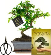 Bonsaiworld Bonsai Carmona - Starter Set - S Vorm P15