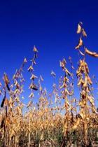 Farm Journal Soybean Harvest Field