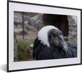 Foto in lijst - Een portret van een Andescondor fotolijst zwart met witte passe-partout klein 40x30 cm - Poster in lijst (Wanddecoratie woonkamer / slaapkamer)