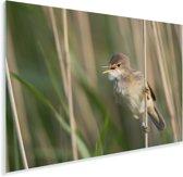 Een kleine karekiet houdt zich vast aan het riet Plexiglas 180x120 cm - Foto print op Glas (Plexiglas wanddecoratie) XXL / Groot formaat!