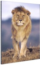 Close-up lopende leeuw Aluminium 120x180 cm - Foto print op Aluminium (metaal wanddecoratie)