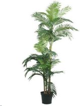 Golden Cane Areca Palm x3 180cm