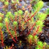 Waterworld Myriophyllum Spicatum - Aarvederkruid - 4 Stuks + Aqua Set (Vijvermandje, Klei, Grind & Voeding)