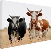 Twee koeien in Zuid-Afrika Canvas 80x60 cm - Foto print op Canvas schilderij (Wanddecoratie woonkamer / slaapkamer) / Dieren Canvas Schilderijen