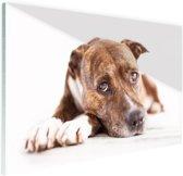 Liggende hond  Glas 30x20 cm - Foto print op Glas (Plexiglas wanddecoratie)