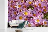 Fotobehang vinyl - Aster bloemen in een tuin breedte 600 cm x hoogte 400 cm - Foto print op behang (in 7 formaten beschikbaar)