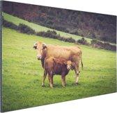 Koe en kalf in een weiland Aluminium 90x60 cm - Foto print op Aluminium (metaal wanddecoratie)
