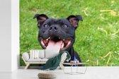 Fotobehang vinyl - Zwarte Staffordshire Bull Terrier die in de camera glimlacht breedte 450 cm x hoogte 300 cm - Foto print op behang (in 7 formaten beschikbaar)