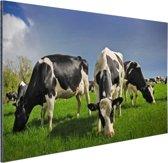 Kudde grazende koeien Aluminium 90x60 cm - Foto print op Aluminium (metaal wanddecoratie)